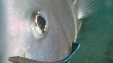 Putzerfisch mit Raubfisch