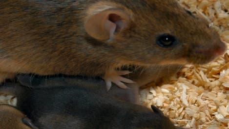 Mäusemutter mit Kind klein