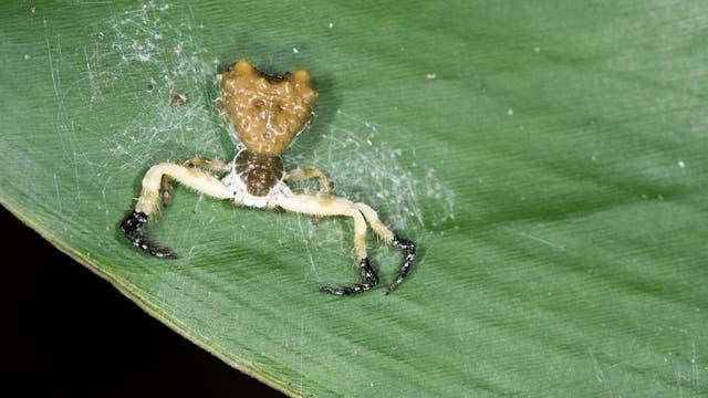 Phrynarachne ceylonica auf einem Blatt.
