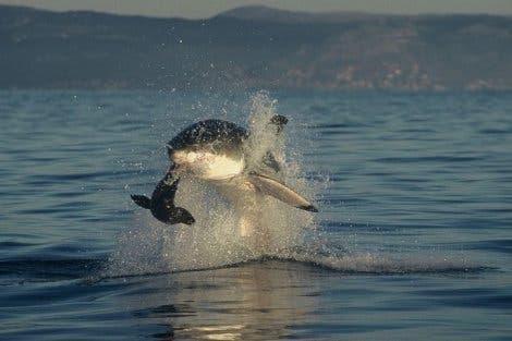 Ein weißer Hai jagt Robben