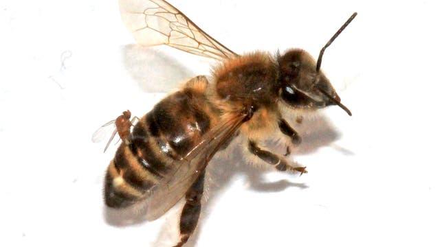 Honigbiene mit Parasit