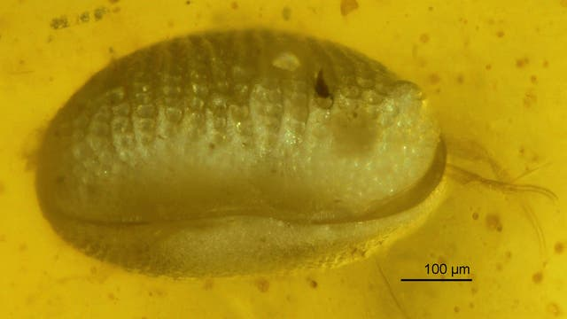 Ein Lichtmikroskop macht Myanmarcypris huiin im Bernstein sichtbar.