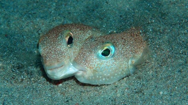 Ein Paar der neu entdeckten Fischart Torquigener albomaculosus
