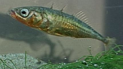 <i>Gasterosteus aculeatus</i>