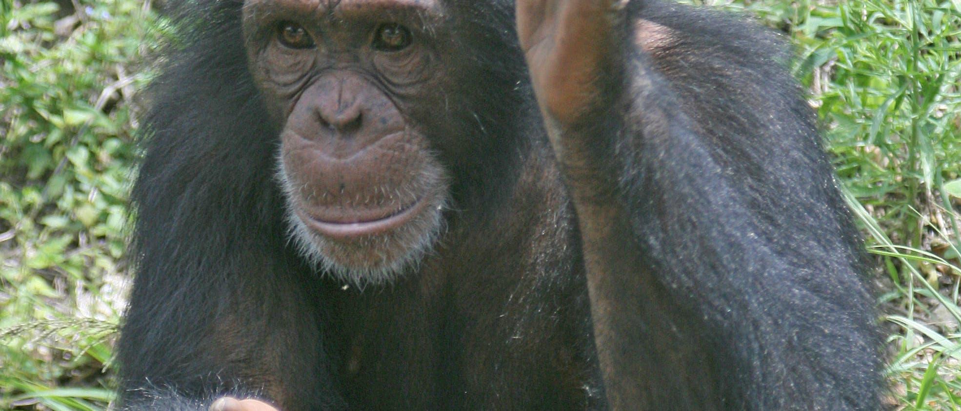 Schimpanse beim Gestikulieren