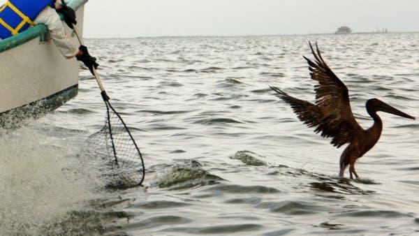 Ölverschmierter Pelikan