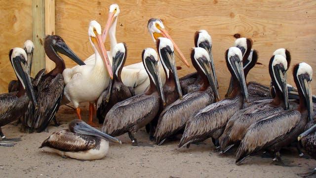 Vom Öl gesäuberte Pelikane