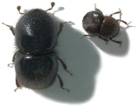 Ambrosia-Käfer