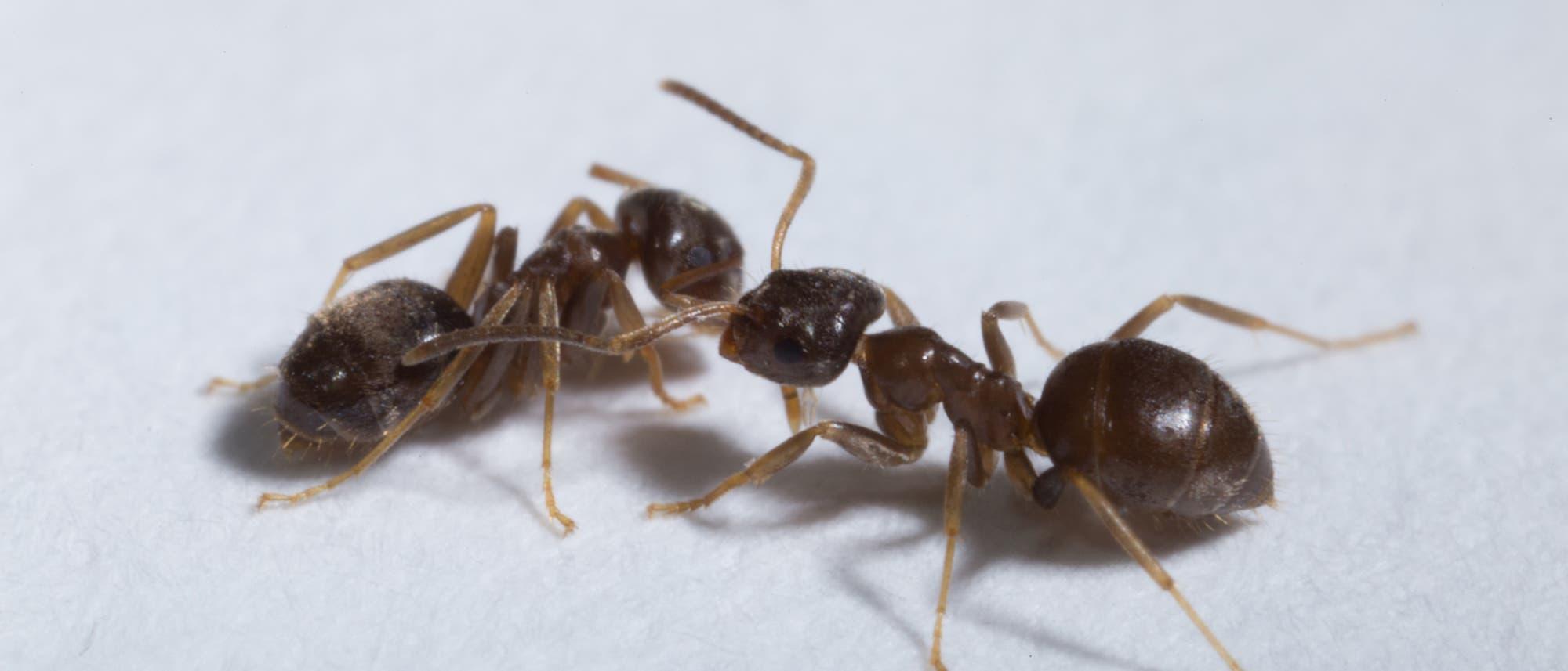 Ameisen der Art Lasius neglectus