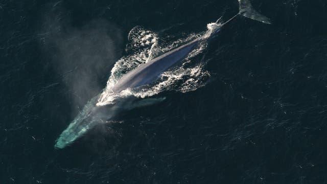 Blauwal - größer ist heute keiner
