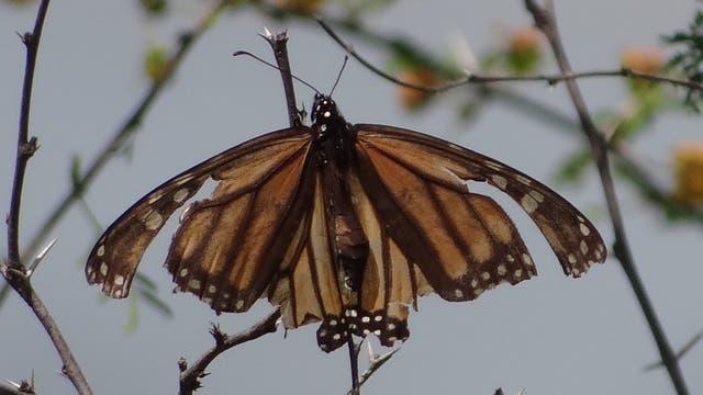 Monarchfalter, zurück aus dem Süden