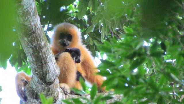 Hainan-Gibbon mit Nachwuchs