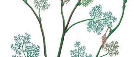 <I>Archaefructus sinensis</I>