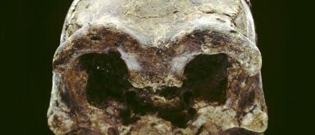 Schädel von Homo erectus