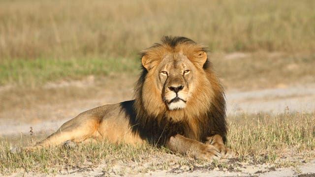 Cecil, der Löwe