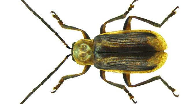 Ein gefräßiges Insekt bedroht die Maisernten der USA: der Westliche Maiswurzelbohrer (Diabrotica virgifera virgifera).