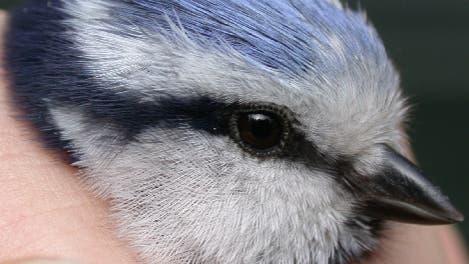 Blaumeise klein