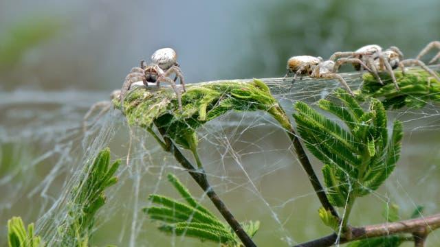 Eine Studie zur koloniebildenden Spinne Stegodyphus dumicola wurde bereits zurückgezogen