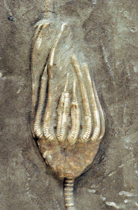 <i>Macrocrinus mundulus</i>