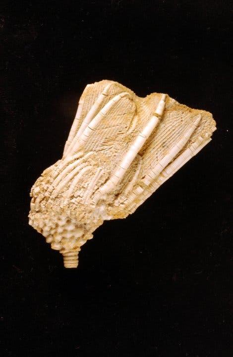 <i>Cactocrinus proboscidialis</i>