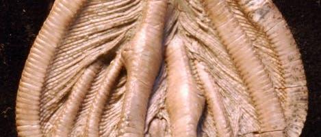 Seelilie