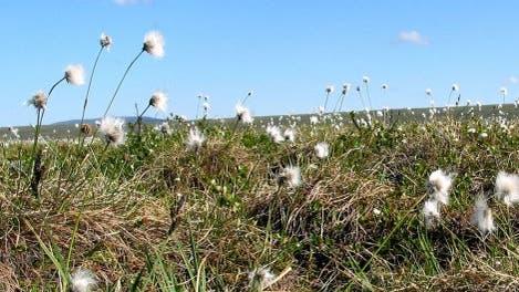 Blühendes Wollgras (<i>Eriophorum vaginatum</i>)