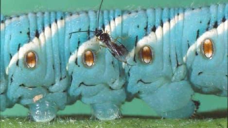 Schlupfwespe bei der Eiablage