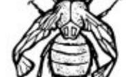 <i>Drosophila sp.</i>