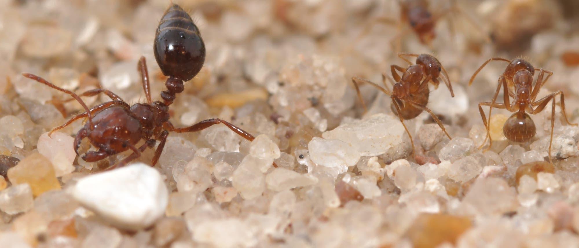 Feuerameise mit zwei Crazy Ants