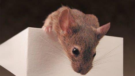 Eine Maus im Verhaltenstest