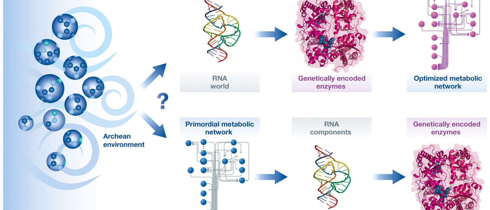 Henne Stoffwechselweg oder Ei RNA?
