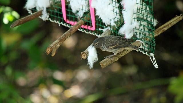 Darwinfink am Baumwollspender