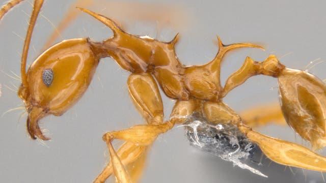 Pheidole viserion - eine neue Ameisenart aus Neuguinea, benannt nach einem Drachen aus Game of Thrones