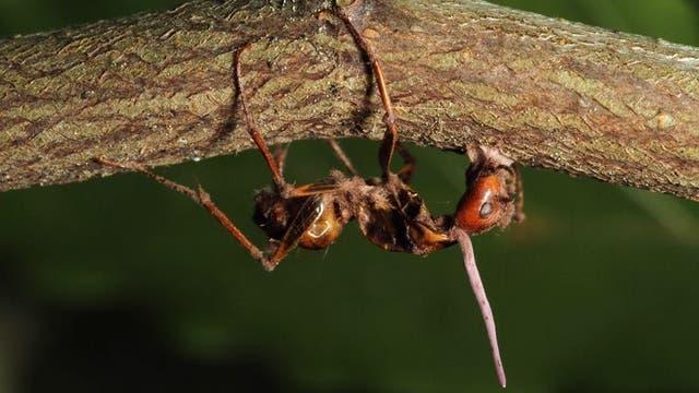Pilzparasit Ophiocordyceps