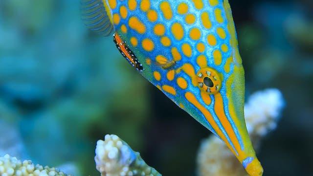 Harlekin-Feilenfisch