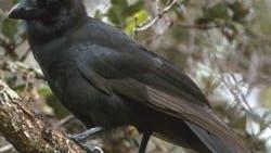 Die letzte ihrer Art in Freiheit: Hawaii-Krähe