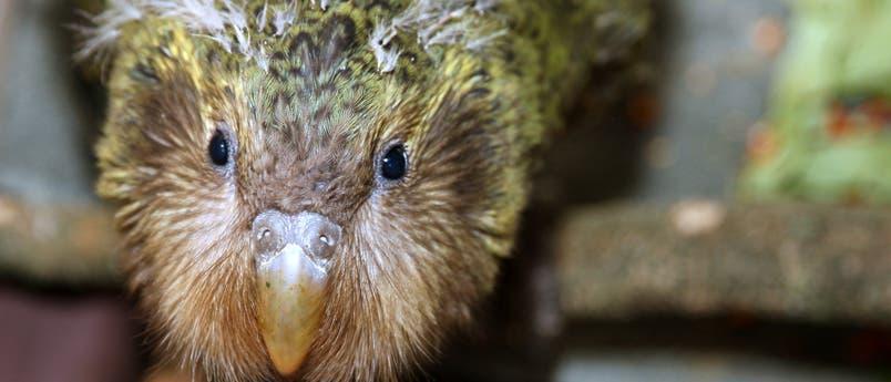 Zwei Monate altes Kakapo-Küken mit Resten des Jugendgefieders