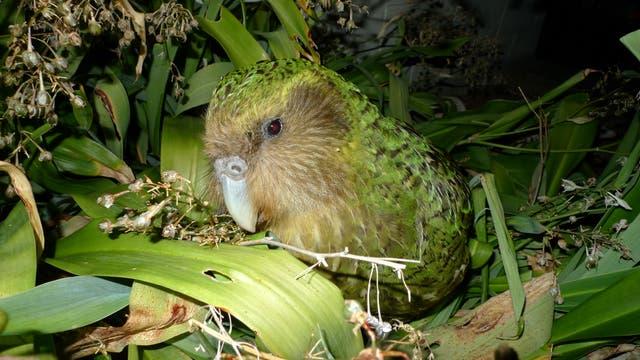 Neuseeländischer Kakapo genießt das wilde Leben auf einer rattenfreien Insel