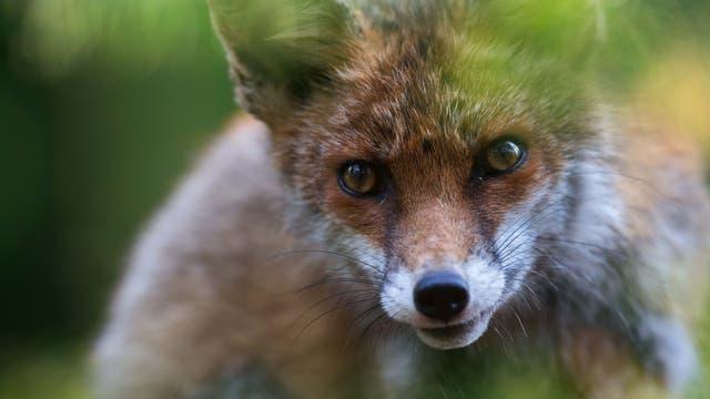 Ein Rotfuchs im Schwarzwald