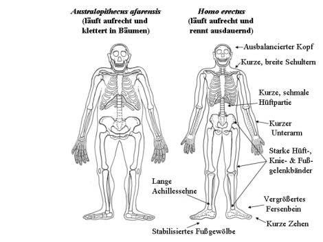 Schon die <i>Homo-erectus</i>-Anatomie passte sich ans Laufen an