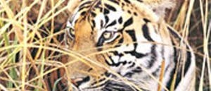 Bengaltiger