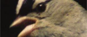Zonotrichia leucophrys