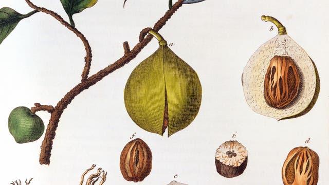 Die Muskatnuss, kolorierter Stich, um 1798