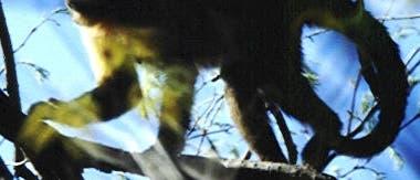 Kapuzineräffchen