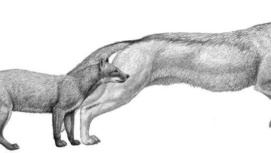 Die frühen Hundevorfahren Hesperocyon (links) und  Sunkahetanka (rechts)