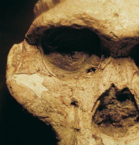 <i>Australopithecus africanus</i>