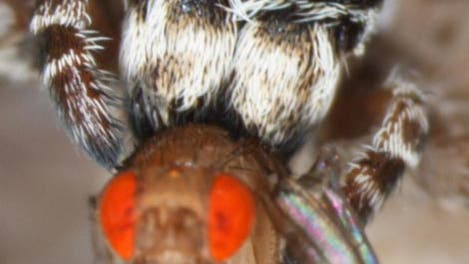 <i>Stegodyphus lineatus</i>