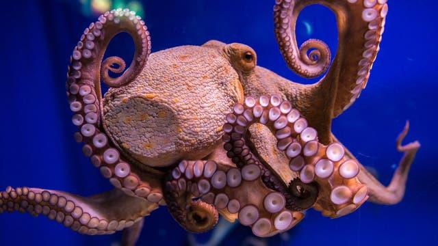 Oktopus (Octopus vulgaris) in einem Meerwasseraquarium