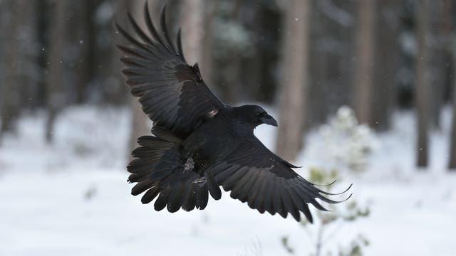 Kolkrabe (Corvus corax) im Flug
