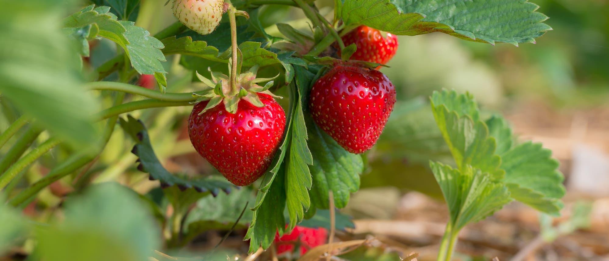 Rote und grüne Erdbeeren am Strauch, mit Strohunterlage.